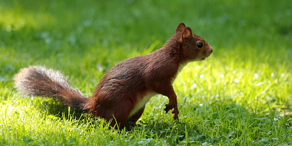 Squirrels in the city exposed to pesticides: It´s a hard life